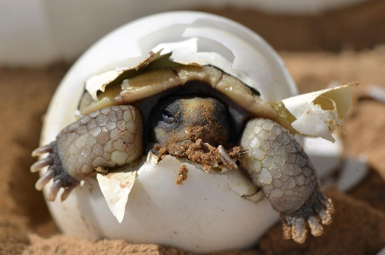 desert-tortoise-987972_1280.jpg