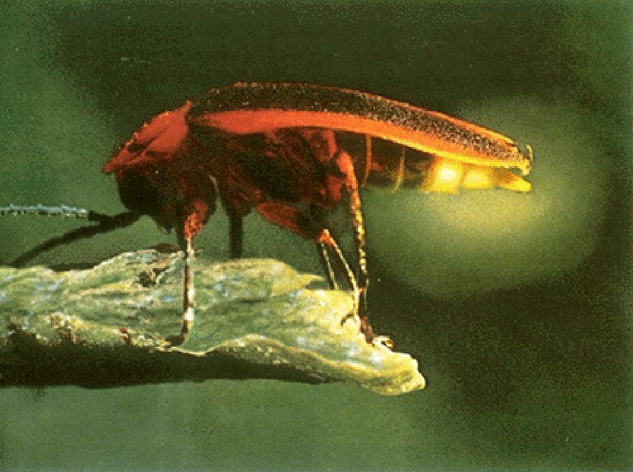 firefly-info0-2.jpg