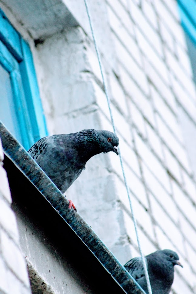 голуби 2.JPG