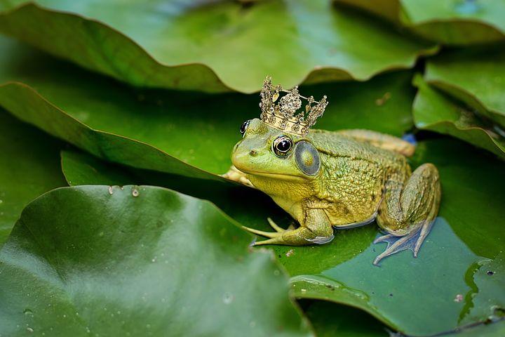 bull-frog-2525989__480.jpg