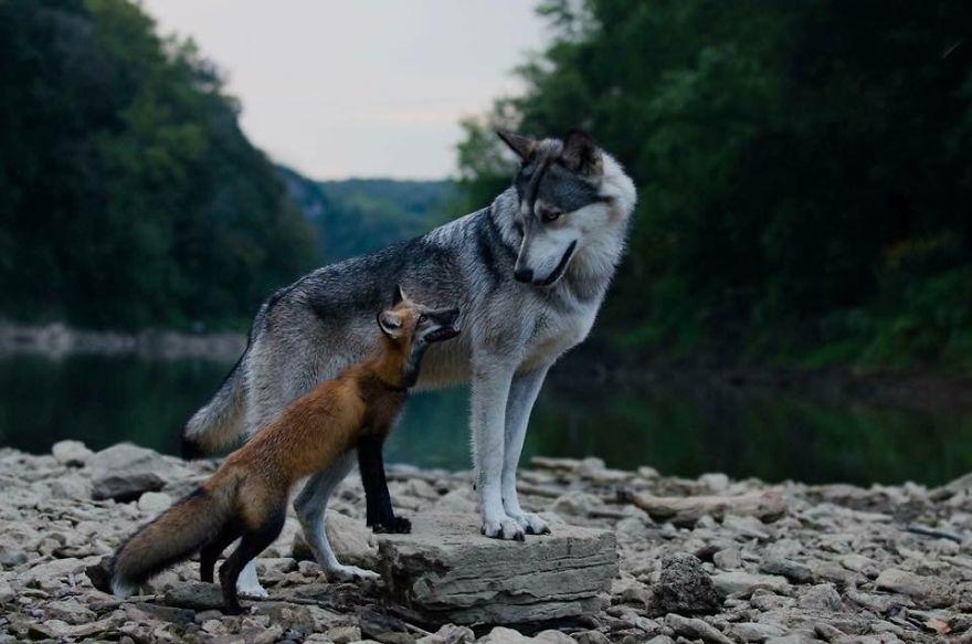 волк и лиса.jpg