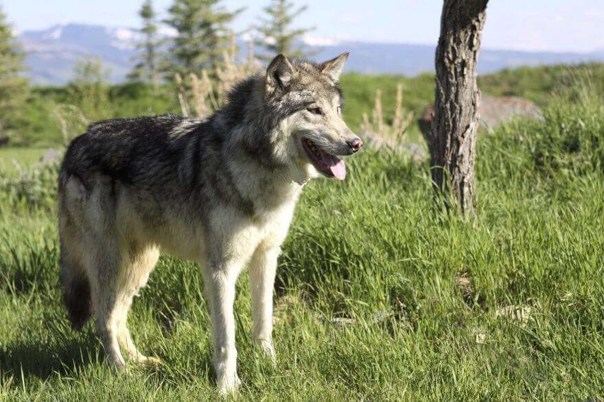 10._wolf.jpg