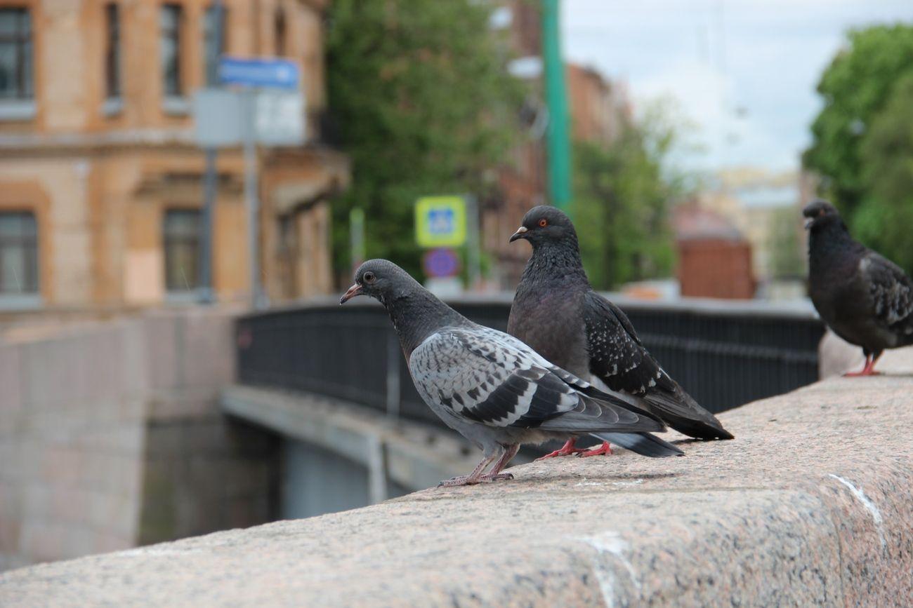 Городские птицы калининграда с фото что связки