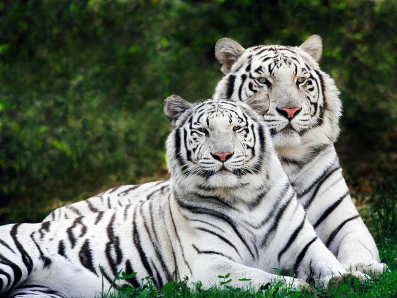 default_Image-by-rajkumar1220.-INCREDIBLE-INDIA.-White-Tiger.-.jpg