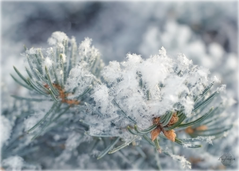 Зимняя ветка в инее.jpg
