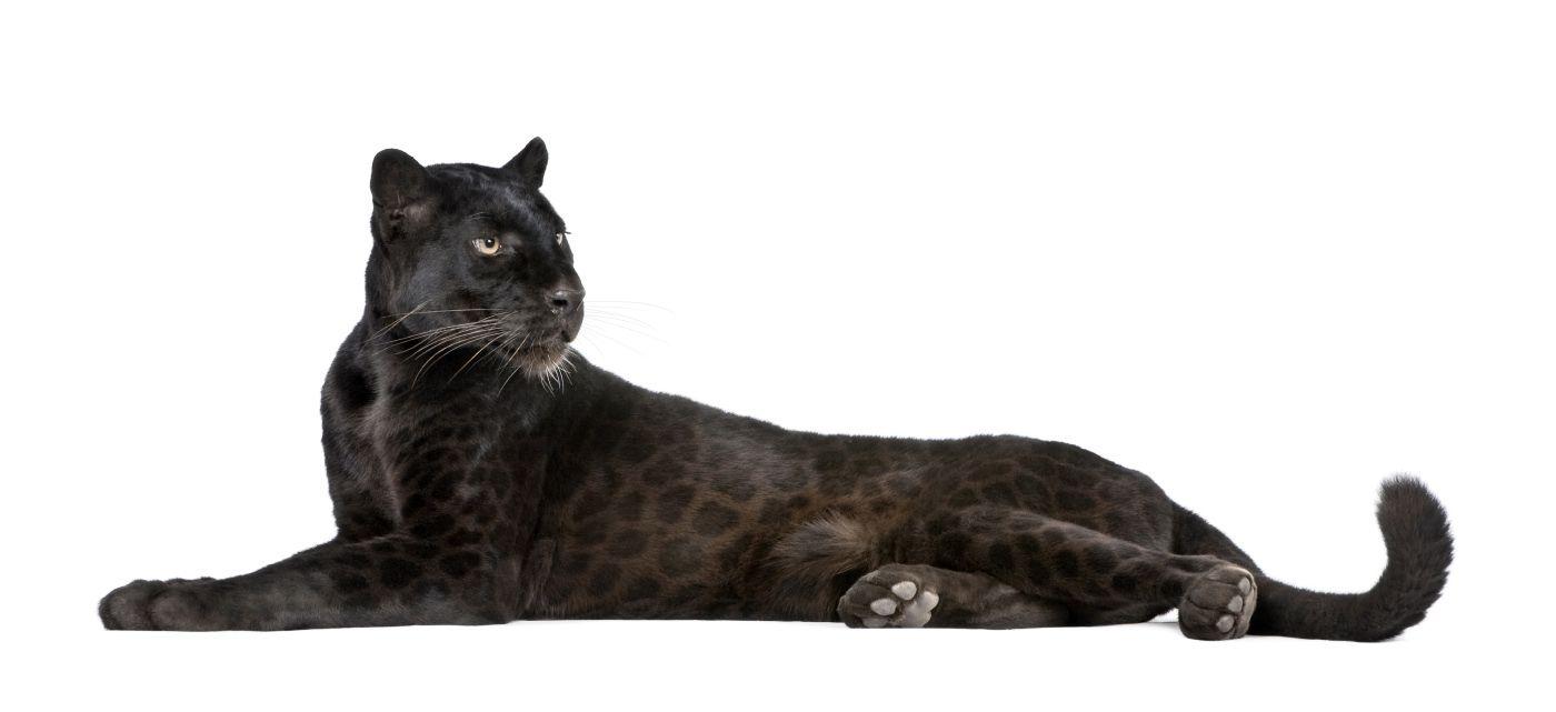 black_panther_1.jpg