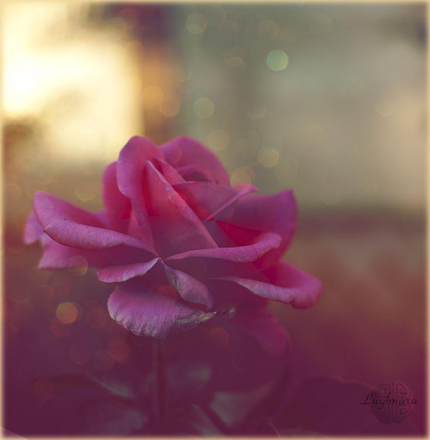Вечерняя роза.jpg