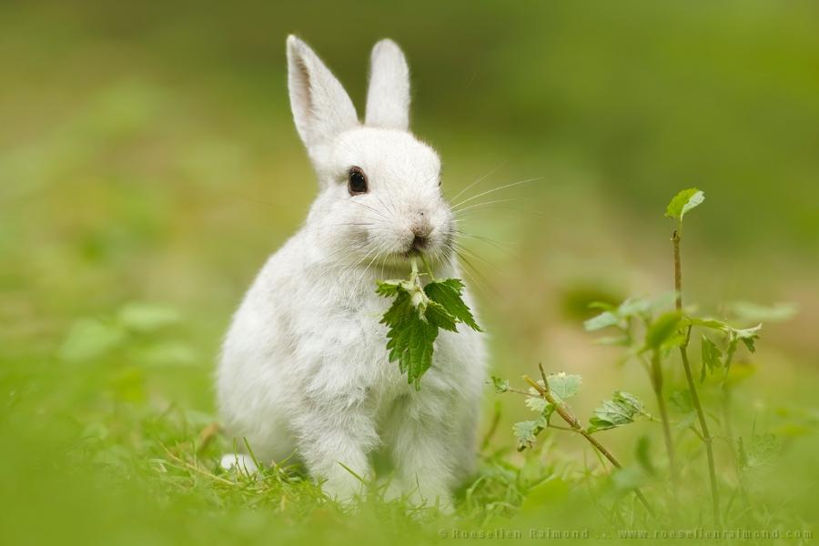 white_rabbit.jpg