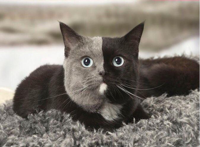 Котик Серо-чёрник