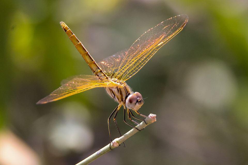 Dragonfly (Pirrik).jpg