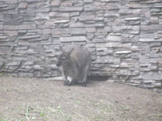 kangaroo4.JPG