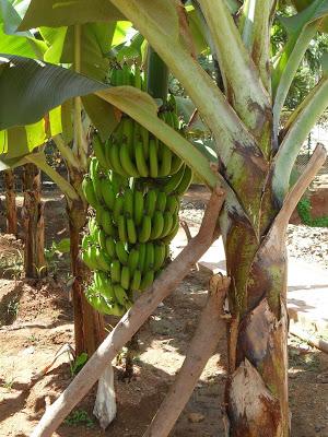 banan3.jpg
