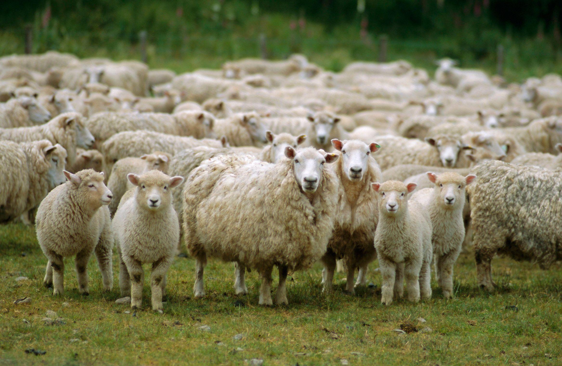 4246524-sheep.jpg