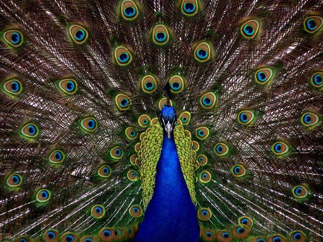 peacock-1868_640.jpg