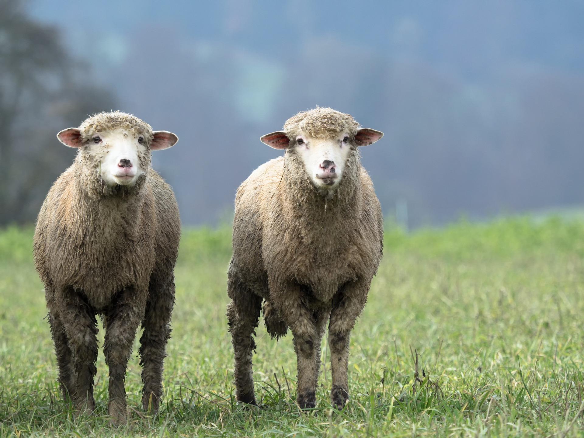 sheep-2784671_1920.jpg