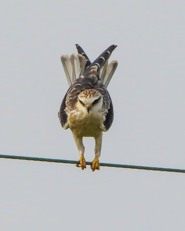 Black-Winged Kite.jpg