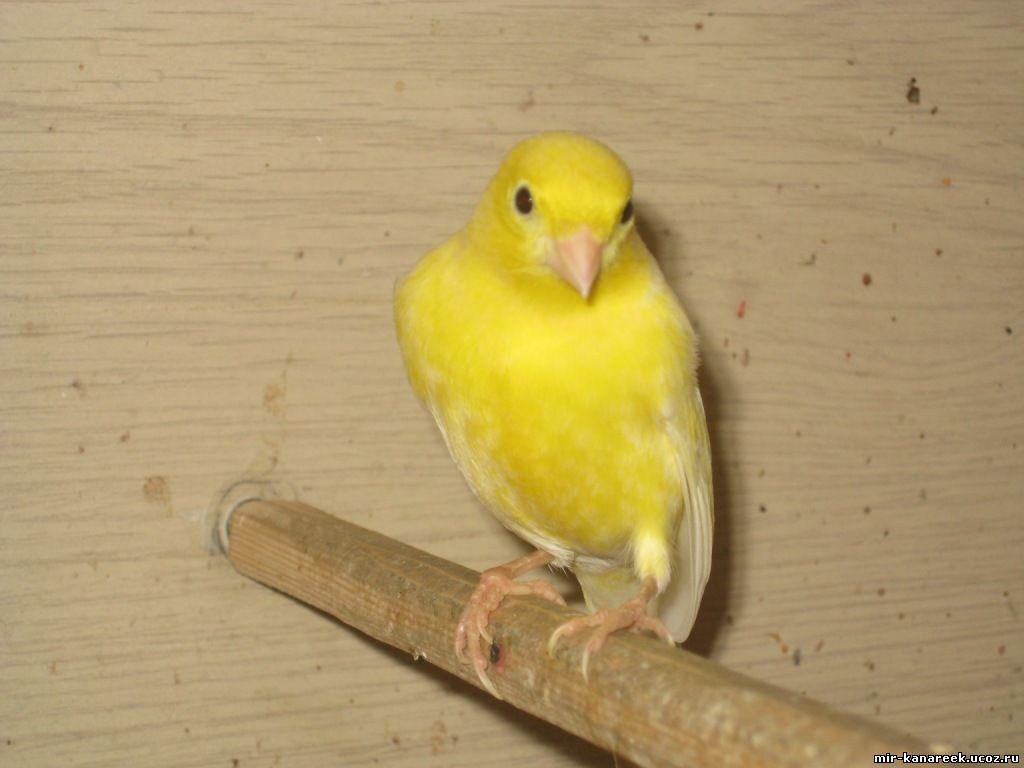 Желтая канарейка отзывы