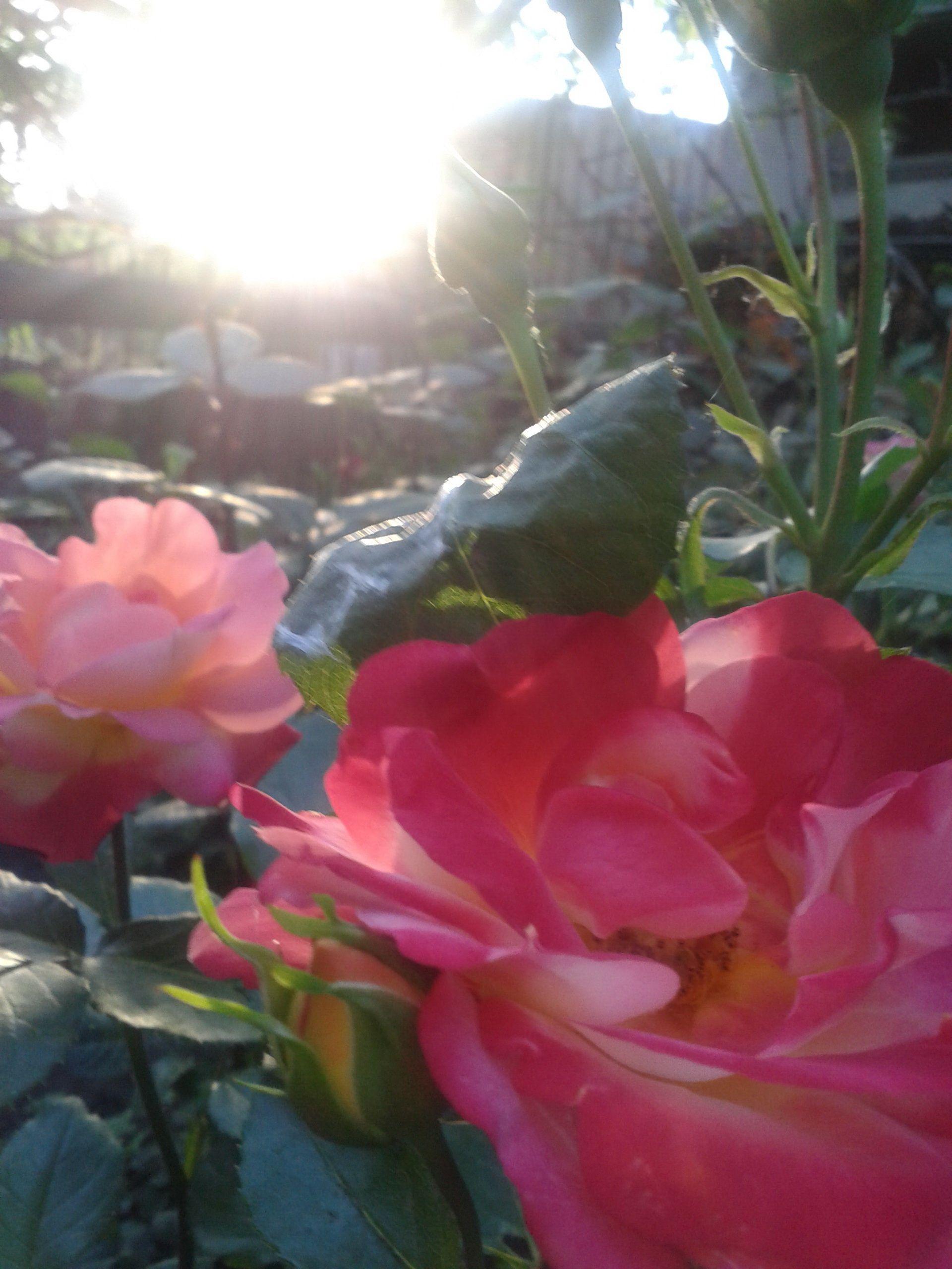 Фото-0659 роза.jpg