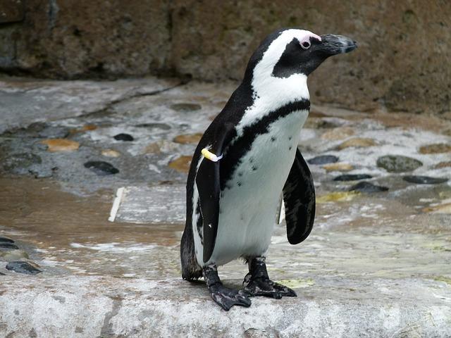 african-penguin-221556_640.jpg