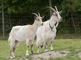 Goats_Go_Inspecting..jpg