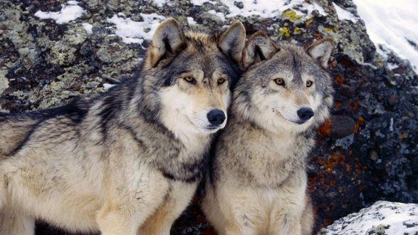 два волка.jpg