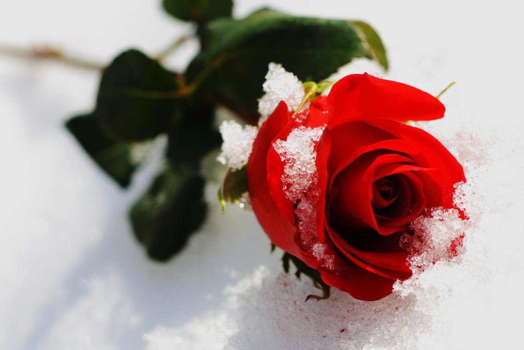 роза в снегу.jpg