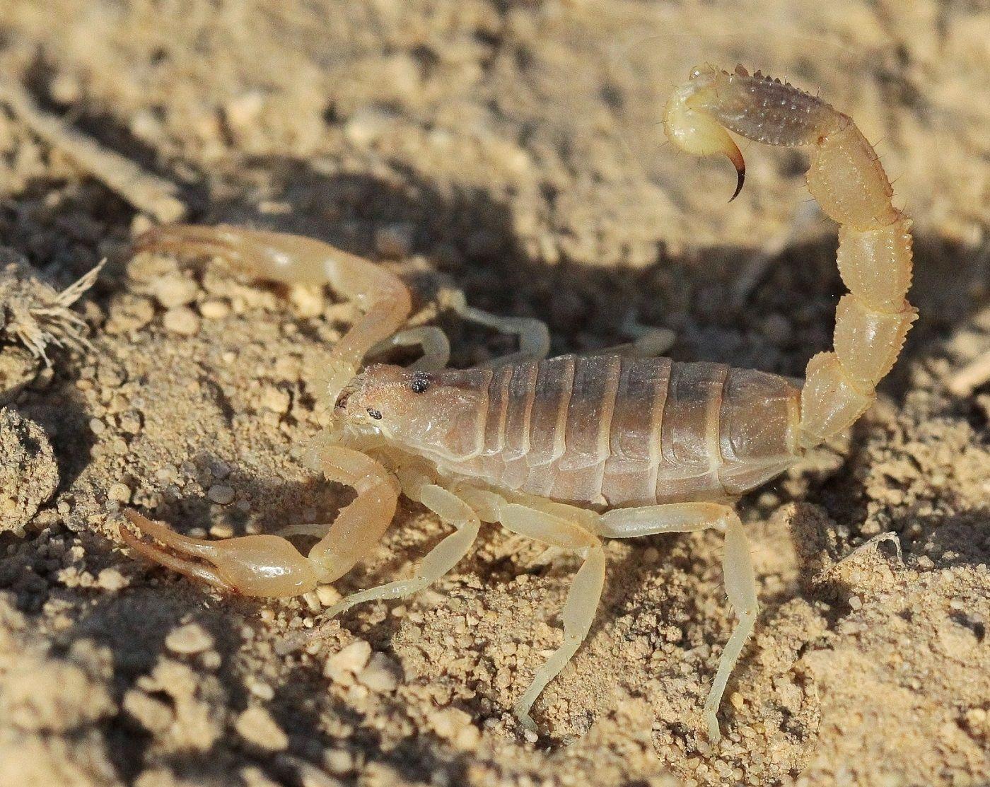 пестрый скорпион фото пляжи здесь