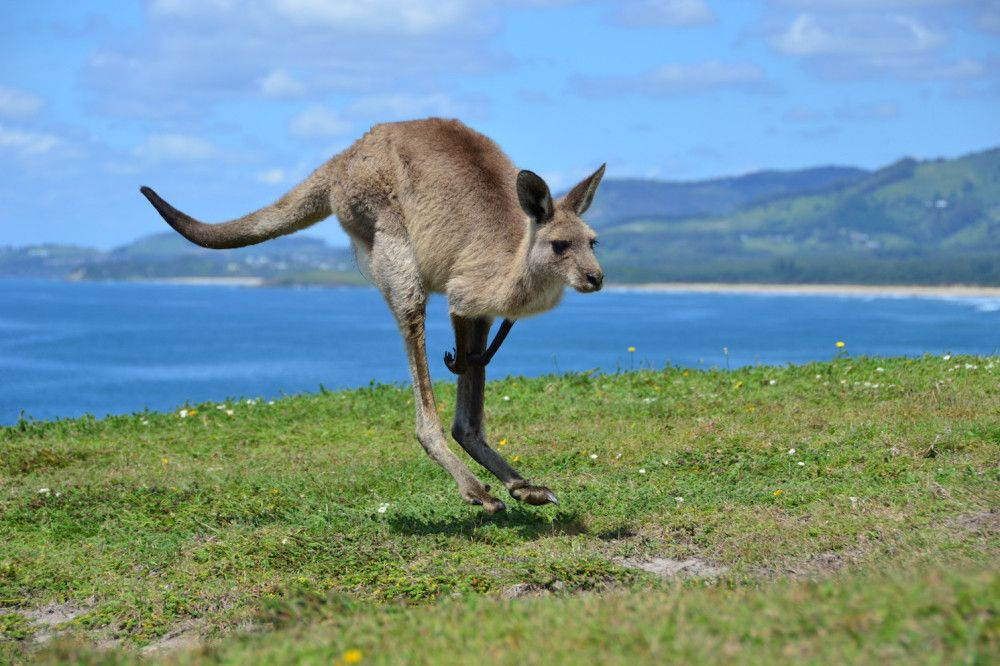 Kangaroos-On-The-Beach-7-1000x666.jpg