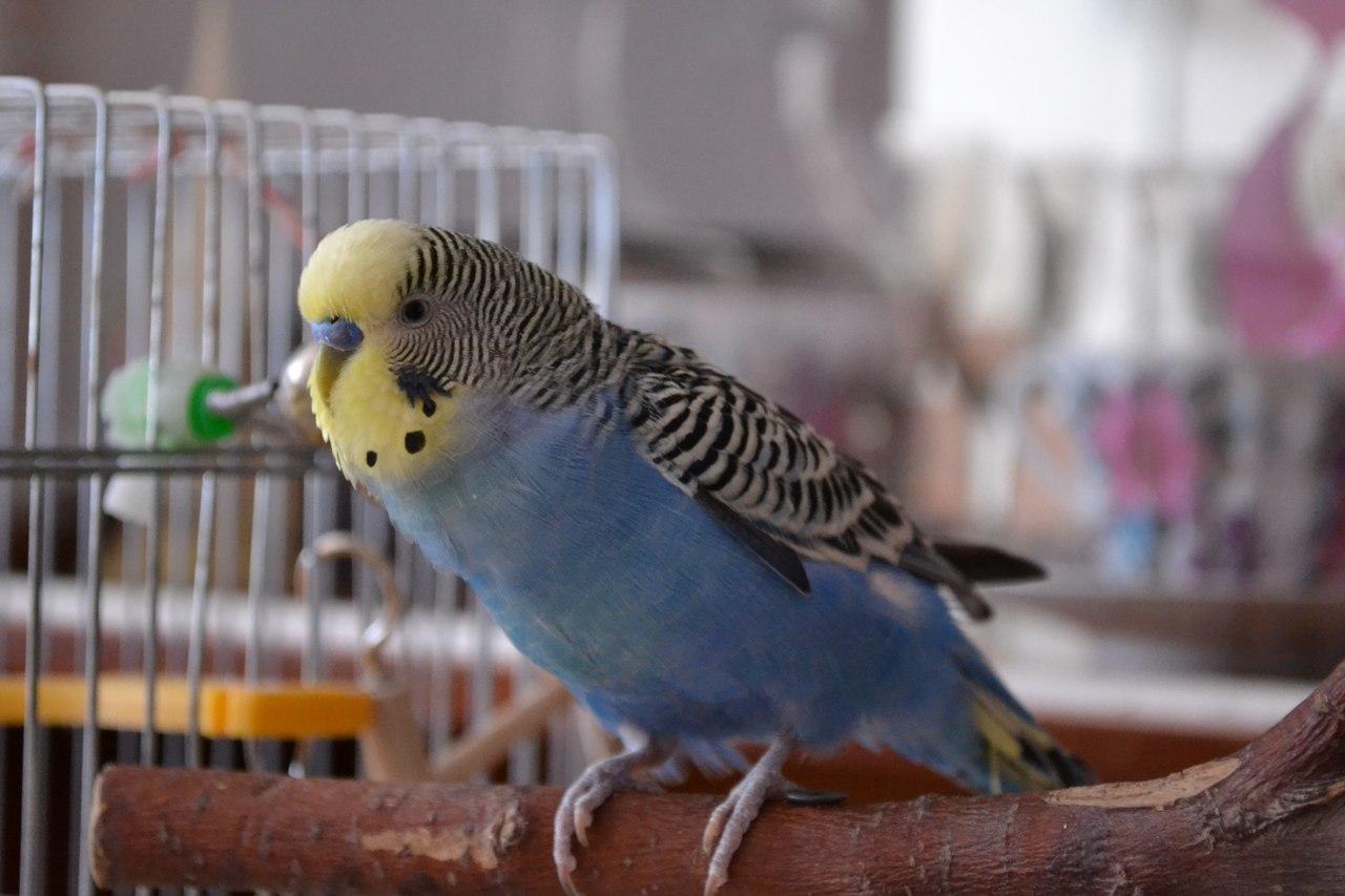 Для, картинки с попугайчиками волнистыми голубыми