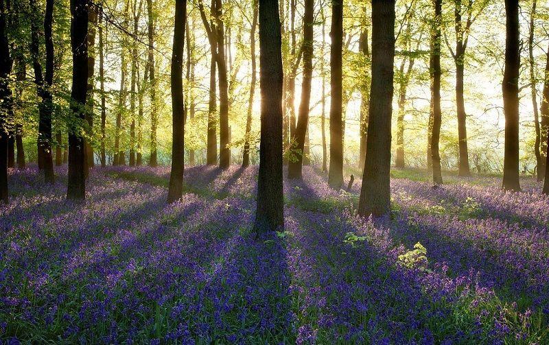 2- Синий лес в муниципалитете Халле, Бельгия.jpg