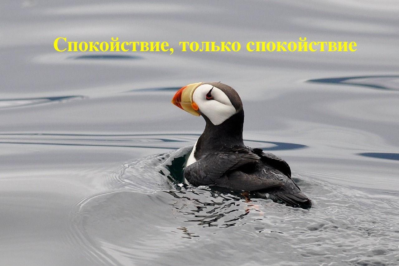 horned-puffin-2008239_1280.jpg