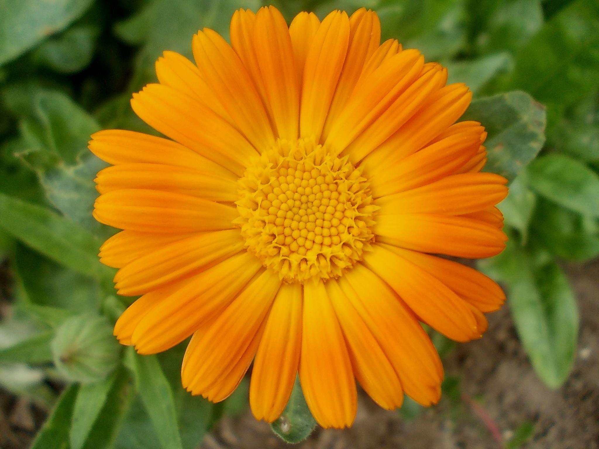ноготки цветы полезные фото только