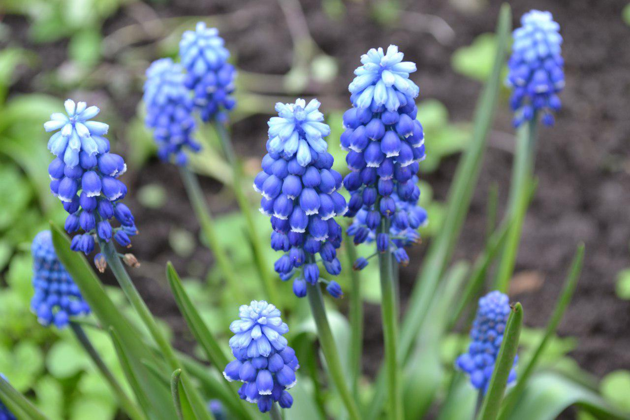 цветок синий мышиный фото нем